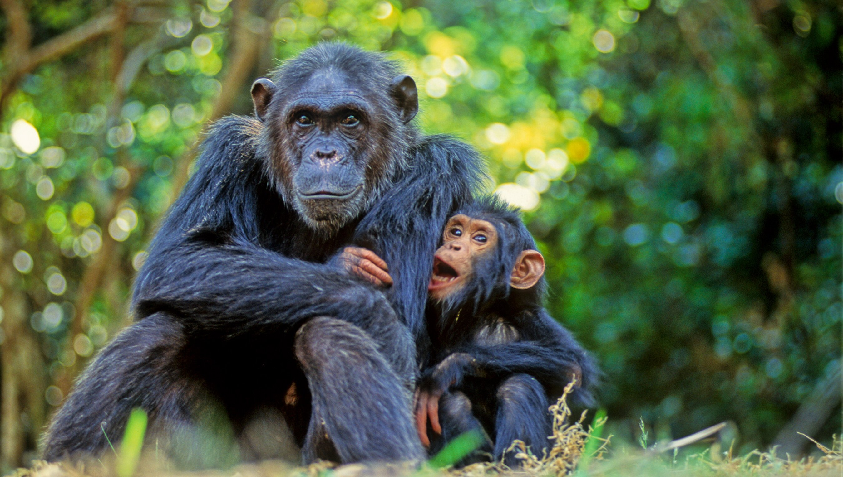 Chimpanzees correct cultural biases about how good mothers behave | Psyche